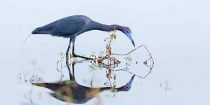 little blue heron peering